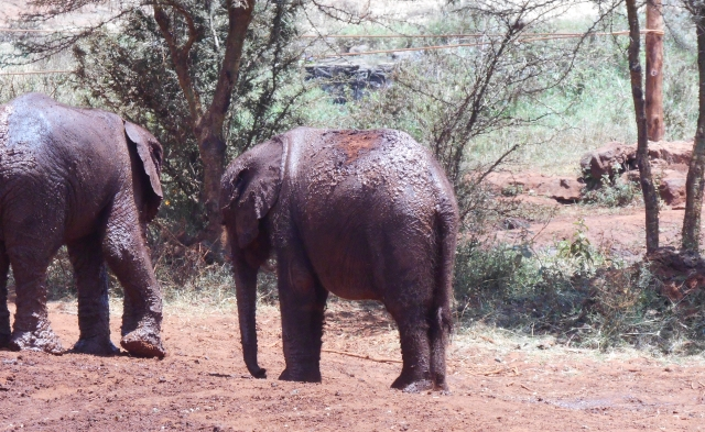 two small orphans at the sanctuary. elephants are very quiet animals.